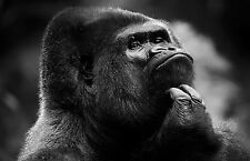 A4 Poster - Gorilla Scratching his Chin in Deep Thought (Animal Monkey Picture)