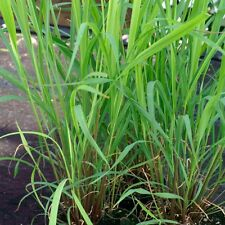 Herb Seeds-Citronella - 1000 Semi
