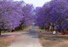 Blue Jacaranda Jacaranda Mimosifolia Tree Seeds (Specta Flower) (20 Seeds) T-017