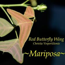~MARIPOSA~ Christia Vespertilionis RED BUTTERFLY WING PLANT LIVE Potd sm Plant