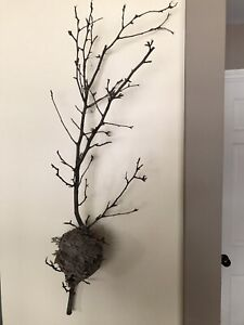 Natural Hornet/Paper Wasp Nest attached to a branch Taxidermy
