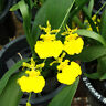 Rare orchid hybrid (seedling) - Oncidium Lemon Heart