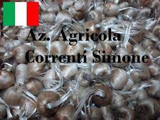 50 bulbi di zafferano ITALIANO grosso calibro 9/10  CROCUS SATIVUS