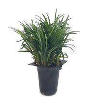 Dwarf Mondo Grass - Live Plants - Shade Loving Evergreen Ground Cover