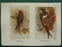 Vintage Uccello Stampa ~ Swift ~ Alpine Swift