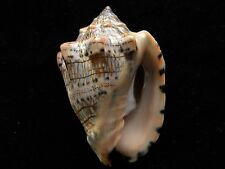 Sea shells Voluta Musica 74mm ID#3543C