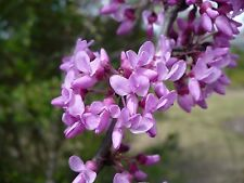 Eastern Redbud   Cercis canadensis   20   Seeds   (Free Shipping)