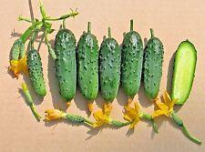 Cucumber seeds  Balcony F1 cucumis sativus  ERA vegetable organic from Ukraine