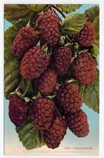 MINT - Loganberries, San Fransisco, California, 1910