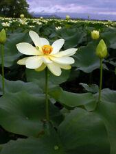 5 American Lotus Seeds