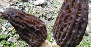 CULTURE DE CHAMPIGNON Mycélium de MORILLE Violette 20 grammes