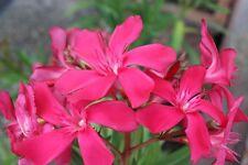 3 Oleander Stecklinge - JANNOCH - große rote Blüten mit hoher Fernwirkung