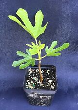 """FIG, WHITE MARSEILLES, THE BEST TASTING FIG, ROOTED PLANT SHIPPED IN 3 1/2"""" POT!"""