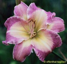 "Hemerocallis ""Mavis Gift"" Taglilie"