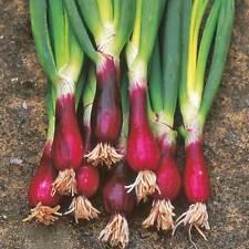 Bunching Onion, Allium fistulosum 'Red Beard', 20+ seeds