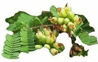Caesalpinia coriaria, seltene Caesalpinia Sorte,10 Samen, 10 seeds