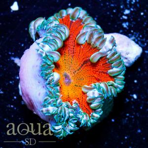 ASD - 119 Sun Flare Rock Nem - WYSIWYG Aqua SD Live Coral Frag