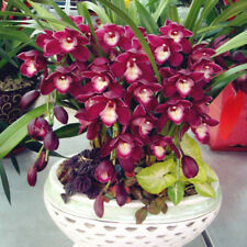 100PCS Chinese Cymbidium Orchid Flower Seeds Indoor Potted Home Window Decor GUT