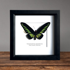 Green Rajah Brooke's Birdwing Butterfly in Box Frame Taxidermy Insect Art