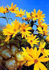 5 Tuberi/Piante Carciofo di gerusalemme - fiore Pravista - commestibili