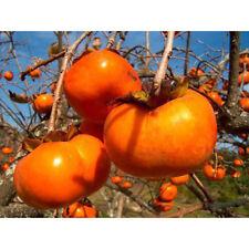 5 Japanese Persimmon Tree Seeds - Diospyros Kaki