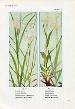 1900s SNOWWHITE and YELLOW WOODRUSH FLOWERS Antique Litho Print Henry Correvon