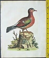 Edwards,Natural History,Green Winged Dove,handc.Engraving,ca. 1741#14