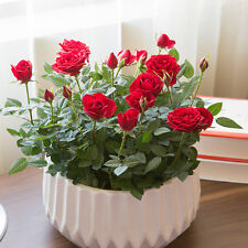 100pcs Red Rose Tree Seeds Home Garden Potted Balcony Yard Flower Plant Bonsai