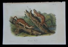 1851 Original Audubon 1st Ed Octavo Quadruped Long Tail Bridled Weasel Plate 60