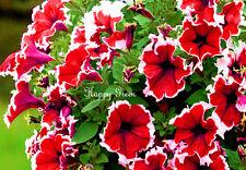 PETUNIA MULTIFLORA PICOTEE RED - Petunia hybrida multiflora nana - 400 seeds