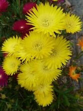 PIG FACE. Mesembryantheum. PIGFACE x 1 PLANT. Yellow Pick your own COLOURS!!!
