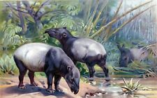 Antique print litho Malayan Tapir Tapirus indicus 1895