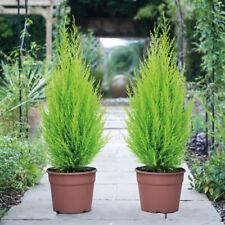 Cupressus Hardy Evergreen Shrub Tree Plant Goldcrest Conifer 10.5cm Pots T&M