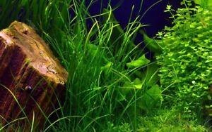 Vallisneria nana 'Leopard' Rare Aquarium Plant ,Aquascaping Background Plant