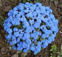 250 DWARF BLUE BEDDER AGERATUM Flower Seeds + Free Gift