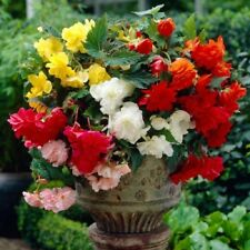 Begonia Pendula Tubers/Corms/Bulbs - Hanging Basket Mix
