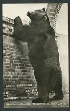 Berlin  Zoologischer Garten Männl. Alaska-Riesenbär. Gewicht 10 Ztr. Höhe 2,55 m