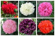 250 PEONY POPPY MIX Papaver Paeoniflorum Mixed Colors Red Pink ++ Flower Seeds
