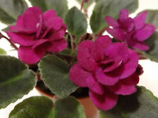 African violet Jolly Fireball live plant in pot semi-miniature