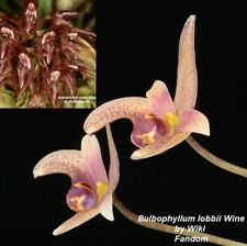 1403 Bulb. lobbii Wine x lasianthum 3 1/4 in. Pot T596