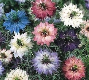 NIGELLA 150+ seeds LOVE IN A MIST Persian Jewels Mix' Cottage flower Herb garden