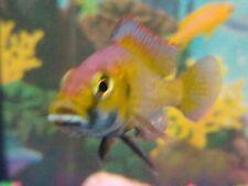HAPPY - M/F Combo (2 fish) Astatotilapia Calliptera African Cichlid