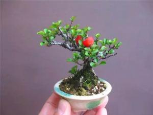 Chaenomeles japonica (Japanese Quince Tree) - 5 Seeds   Garden Bonsai Flowers UK