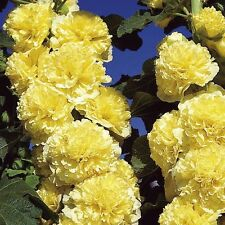 50 Seeds Hollyhock Chater Golden Yellow Holly Hock Seeds ( Perennial )
