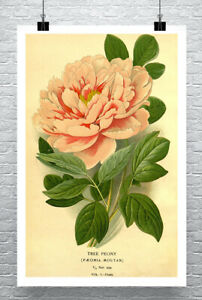 Tree Peony Vintage Flower Illustration Fine Art Giclee Print Canvas or Paper
