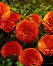 Sunset Ranunculus - 10 Bulbs - Size 7+cm