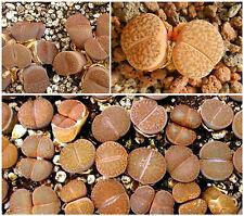 50 graines de Lithops bromfieldii glaudinae C116,pierres vivantes, succulentes F