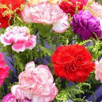 Hot Asian Rare Carnations Seeds Flowers Species Bonsai Summer Planting 300PCS
