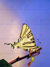 BUTTERFLY BRANCH IVY YELLOW INSECT MACRO PHOTO ART PRINT POSTER PICTURE BMP424A