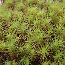 Hair Cap Moss . 200 Spores